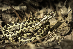 Adder (ian hufton photography) Tags: reptile snake adder wildlife ianhufton viper kent