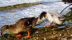 Λιμνη Τριχωνιδας DSC07159 (omirou56) Tags: λιμνητριχωνιδασ παπιεσ φυση αιτωλοακαρνανια ελλαδα πουλια λιμνη 169ratio sonydscwx500 aitoloakarnania trihonidalake greece duck water nature natur natura