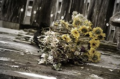 Beauty from Tragedy (Pahz) Tags: werehere wah wh hereios beautyfromtragedy deadflowers daisies bouquet flowers oldwood flowersonaparkbench perfectionisoverrated digitalmanipulation