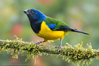 Black-chested Mountain-Tanager (Cnemathraupis eximia)