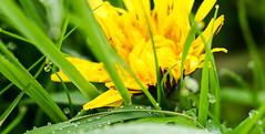 Löwenzahn an Morgentau (fotaennie) Tags: löwenzahn morgentau blüte frühling rieselfelder