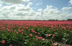 Pretty pinks (Schagie) Tags: pink flowers tulipfield homeland holland roze tulpenveld bollenland lente tulpen bloem lucht blue clouds wolken