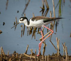 Black Necked Stilt (tresed47) Tags: 2017 201704apr 20170411bombayhookbirds birds bombayhook canon400mmf56l canon7d content delaware folder peterscamera petersphotos places shorebirds stiltblacknecked takenby us ngc