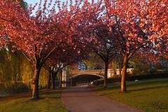 Blütendach am Schwanenwik (Lilongwe2007) Tags: hamburg deutschland ausenalster kirschblüte japanische zierkirsche sonnenuntergang natur illumination alsterpark