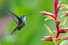 Colibrí Corona Azul - Amazilia cyanocephala (Jorge De Silva R) Tags: chiapasmexico jorgesilva reserva de la biosfera el triunfo nature legado verde colibrí corona azul amazilia cyanocephala