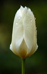 die Schönheit - the beauty (ralfkai41) Tags: tulpe tulip pflanze blossom blüte blume outdoor natur garden plant macro regen nature flower garten makro tropfen raindrops rain regentropfen droplets