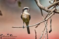 Shrike (Modestus Lorence) Tags: tc 2x ii is f28 300mm markii 1dx canon chinesegarden singapore animals birds shrike