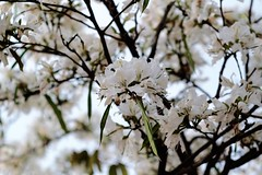 Sinfonía en blanco (ameliapardo) Tags: sinfonia flores arboles blanco naturaleza airelibre andalucía sevilla españa fujixt1