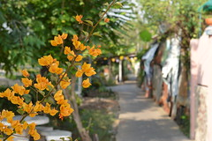 bougainvillea along the canal path (the foreign photographer - ฝรั่งถ่) Tags: yellow orange bougainvillea canal path khlong thanon bangkhen bangkok thailand nikon d3200