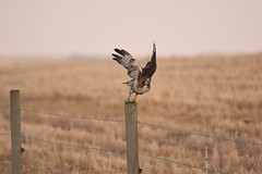 Red-tailed Hawk - Buteo jamaicensis (jessica.rohrbacher) Tags: hawk redtailed buteo accipitridae jamaicensis avian bird alberta canada grasses hunting prairie