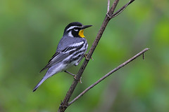 Yellow-throated Warbler (Greg Lavaty Photography) Tags: yellowthroatedwarbler setophagadominica texas april bird nature wildlife outdoors male warbler migration neotropical tropical