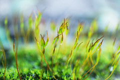 No moonlight. Dancing in the sunlight. (Gudzwi) Tags: moos moss green grün sonnig sunny dancing tanzen wald woods garden garten natur nature bokeh blur macro nahaufnahme makro
