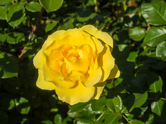 Yellow Rose (melastmohican) Tags: rose sunny natural color floral season nature flower shrub day beauty outdoor gardening orange beautiful garden bush plant colorful fresh flora petal rosebush love botanical outdoors blossom nobody yellow bloom field