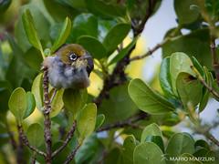 Silvereye, Matiu Somes Island (mario.marzuki) Tags: lowerhutt wellington newzealand nz