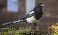 Magpie (4 of 34) (ianrobertcole1971) Tags: magpie garden corvid