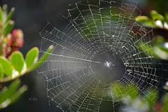 La danza del piccolo ragno (Athene eLisa Noctua) Tags: verde primavera foglie del la casa danza natura di aprile piccolo sole provincia luce catania sicilia raggi ragno tela delle sospensione farfalle giornata ragnatela aracne intreccio viagrande tessitura tepore