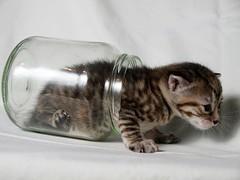 P4098712 (paxt) Tags: cat kitty gatos olympus meow gatito strobist