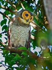 Spotted Wood-Owl เค้าป่าหลังจุด