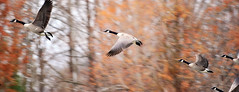 Autumn Flight (MacAoda8) Tags: nikon d700 nikonflickraward richmchugh