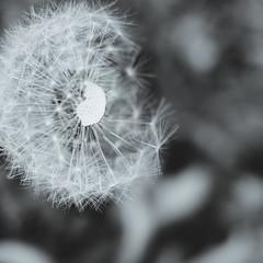make a wish (cathy sly) Tags: blackandwhite blogged wish