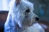 chloe_1 (Ryan_M651) Tags: dog pet white west window eyes sitting westie sofa terrier highland beady ilobsterit
