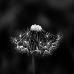 Wet Dandelion Seed Heads (ianmiddleton1) Tags: bw nature wet monochrome canon mono blackwhite spring weeds glasgow monochromatic dandelion seeds tamron hdr dandelionseedhead