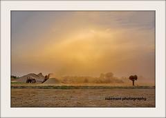 golden harvest (TARIQ HAMEED SULEMANI) Tags: travel pakistan summer tourism trekking nikon wheat harvest culture punjab tariq supershot sulemani tariqhameedsulemani