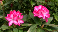 Happy Mother's Day! (mikekincaid) Tags: day mothers rhododendron rhododendrons rhododendrongarden rhodys rhodies rhododendronnursery