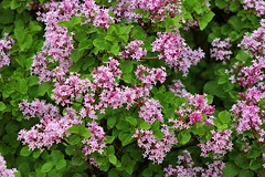 When Lilacs Last In The Dooryard Bloom'd (Marbeck53) Tags: flowers ohio plant leaves canon eos cincinnati blossoms lilac shrub syringavulgaris 60d miamiwhitewaterpark marbeck53 markriesenbeck