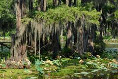 Uncertain - Hanging Moss (Drriss & Marrionn) Tags: travel usa lake green texas spanishmoss cypresstrees uncertain caddolake uncertaintx blinkagain bestofblinkwinners blinkagainsuperstars blinksuperstars