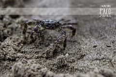 Cangrejos (Paco Jareo Zafra) Tags: summer costa beach animal animals canon coast mar crab playa arena patas verano animales araa paco zafra 2014 cangrejo 500d camuflaje jareo pacosrulz jareio