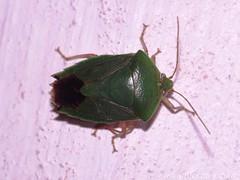 Shield bug (Hickatee) Tags: forest rainforest belize wildlife culture toledo jungle puntagorda shieldbugs stinkbugs hickatee toledodistrict hickateecottages hickateebelize hickateepuntagorda