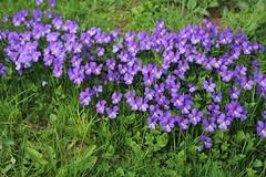 MAI-2014-violette-fleurs-de-printemps