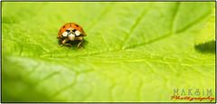 Marienkäfer-Session (Maximkaa) Tags: orange sex insect sommer pflanze grün makro sonne insekt garten herb herbal liebe käfer geld erotik marienkäfer johannisbeere punkte bumsen