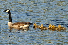 She is on her..... (l_dewitt) Tags: geese waterfoul goose gosling canadagoose canadageese wildlifeimages naturephotos wildlifephotos natureimages connecticutwildlife newenglandwildlife waterfoulimages canadageeseimages canadageesephotos geeseimages