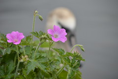 251 (lisabrotherton1) Tags: flowers plants nature water canal swan nikon bokeh wildlife canals d3200