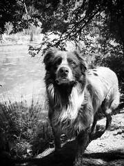 My walking buddy :) #dog #cute #animal #adorable #family #walk #buddy #blackandwhite (malloryjdeboer) Tags: family blackandwhite dog cute animal walk adorable buddy