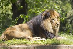 National Zoo Tue 13 May 2014 (772) African Lion Luke (smata2) Tags: washingtondc smithsonian dc leo luke lion bigcats lowe pantheraleo nationscapital smithsoniannationalzoo greatcats itsazoooutthere zoosofnorthamerica flickrbigcats
