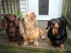 I Wonder (Tobyotter) Tags: frank dachshund link jimmydean