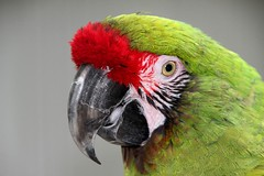 Hoenderdaell (soetendaal) Tags: amazon parrot redhead amazone papagaai exican