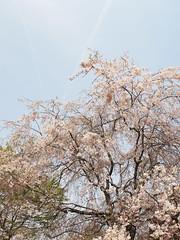 (Polotaro) Tags: nature pen olympus  sakura   zuiko ep1   4       fconp01