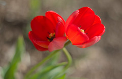 Twisted Twins (Simon__X) Tags: flowers red plants plant green love nature beauty landscape tulips earth twin petal tulip