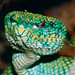 Bornean Keeled Green Pit Viper (Tropidolaemus subannulatus) female