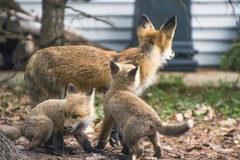 Foxes (Daniel N. Smith) Tags: dog cute dogs nature animal animals puppy puppies wildlife fox kit foxes