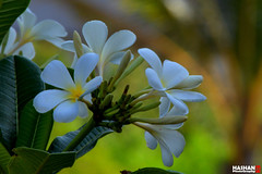 Temple Flower 05 (Hashan Photography) Tags: flowers flower photography plumeria srilanka blooms araliya templeflower hashan flowersinsrilanka hashanphotography