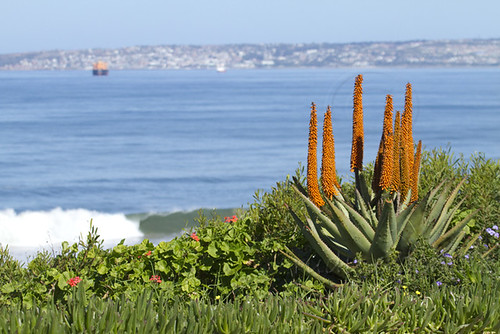 Aloe ferox , in flower,  with Mossebay in backround_2404