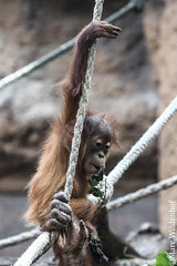 Orang-Utan Baby (Marc Wildenhof) Tags: baby animal germany mammal deutschland zoo monkey hessen frankfurt orangutan frankfurtammain tier affe endangeredspecies frankfurterzoo menschenaffe primat sugetier primaten endangeredanimal menschenaffen bedrohtetierart