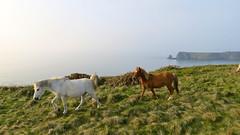 Loslopende paarden