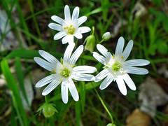 Spaziergang in der Eifel - on Explore May 20, 2014 # 273 (mama knipst!) Tags: flower fleur spring natur eifel blume wildflower frühling wildblume