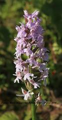 Common Marsh Orchid 019